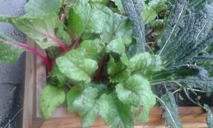 Vackra rödbets- och grönkålsplantor! Foto: AnnVixen
