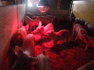 Den goda och glada grisen är ett av målen med den ekodynamiska gården. Foto: AnnVixen