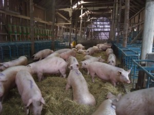 Glada djur, suggorna i väntan, burrar ner sig i höet. Foto: AnnVixen