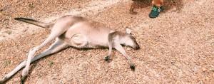 Ett spår efter människans förödande effekt på Australiens naturliga djurliv. Foto: Hanna Isabelle Sjöberg