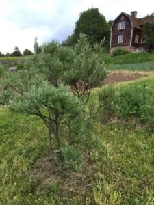 Havtornsbusken och huset. Foto: AnnVixen