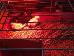 Kycklingungarna är snart vuxna och kan springa ute på gården och sprätta och lägga ägg! Foto: AnnVixen